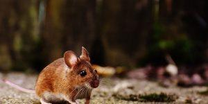 Un moyen efficace pour éloigner les souris de votre maison